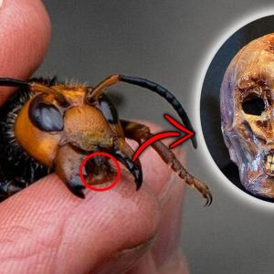 Top 10 Scary Murder Hornets Facts You Should Know | Asian Giant Hornet